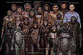 Australopithecine species, illustration