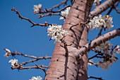 Baobab Tree, Namibia