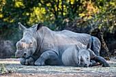 Dehorned white rhino and calf