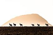 Blesbok running across mountainous plateau