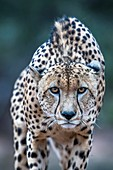 Stalking male cheetah