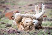 Male lion lying on his back
