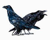 Ravens, illustration