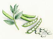 Broad beans, illustration