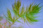 Draparnaldia green algae, polarised light micrograph