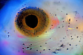 Fish eye, polarised light micrograph