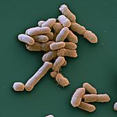 Proteus mirabilis bacteria, SEM