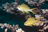 Female threadfin anthias