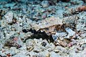 Dragon sea moth
