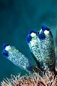 Colonial purple sea squirts