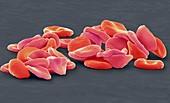 Red blood cells, SEM