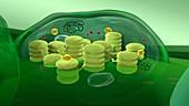 Chloroplast structure, 3D illustration