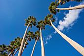 Row of palm trees against a blue sky