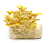 Home-grown golden oyster mushrooms