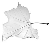 Maple leaf (Acer sp.), X-ray