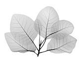 Smoke bush leaves (Cotinus sp.), X-ray