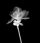 Geranium, X-ray