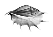 Conch shell, X-ray