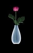 Rose (Rosa sp.) in vase, X-ray