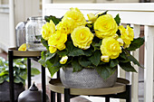 Begonia AmeriHybrid® 'Roseform Yellow'