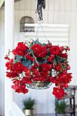 Begonia 'Sundancer ™ Rot'