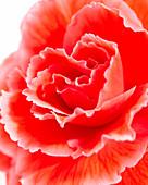 Begonia AmeriHybrid® 'Picotee Lace Red'