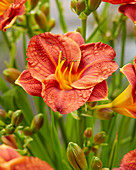Hemerocallis 'Younique' Orangefarben
