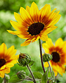 Helianthus Sunbelievable 'Brown Eyed Girl'
