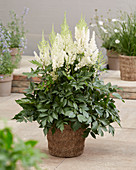 Astilbe 'Lowlands White'