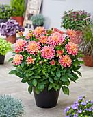 Dahlia 'Garden Desire'