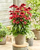 Echinacea '009-17-K027-01 133157'