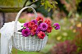 Korb mit frisch geschnittenen Dahlien-Blüten
