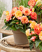 Begonia On Top® 'Sunset Shades'