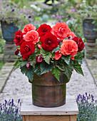 Begonia AmeriHybrid® 'Roseform Salmon', 'Roseform Scarlet'
