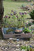 Schachbrettblumen in Blechtöpfen auf Holztablett, Tausendschön, Steckzwiebeln und Handschaufel