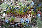 Obstkiste mit Traubenhyazinthen zum Einpflanzen, österlich dekoriert mit Oster-Anhängern