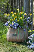Korb mit Narzissen 'Tete a Tete' und Strahlenanemonen am Gartenzaun