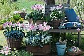 Tulpen 'Holland Chic', Vergißmeinnicht 'Myomark', Gänsekresse und Hornveilchen in Kisten und Körben an Baumbank im Garten, Korb mit Ostereiern als Osternest, Osterhase, Kissen