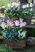 Tulpen 'Holland Chic', Vergißmeinnicht 'Myomark', Gänsekresse und Hornveilchen in Kisten und Korb an Baumbank im Garten, Korb mit Ostereiern als Osternest