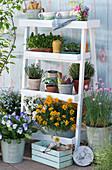 Blumentreppe mit Goldlack, Hornveilchen, Schleifenblume, Vergißmeinnicht 'Myomark', Schnittlauch, Thymian, Oregano und Töpfe mit Utensilien und Sämereien