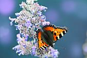 Schmetterling 'Kleiner Fuchs' an Blüte