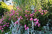 Blühende Rose 'Bayernland' und Wollziest im Beet