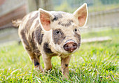 Cute spotted piglet walking in grass
