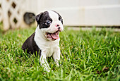Cute Boston Terrier puppy yawning in grass