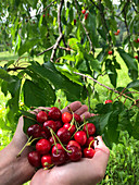Hands holding fresh cherries under a tree