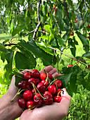 Frische Kirschen unterm Baum von Händen gehalten