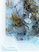 Seaweed, stones, shells and little fish in a plastic container filled with water
