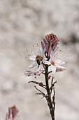 Biene an Blüte von Meerzwiebel