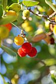 Zweig vom Erdbeerbaum mit gelben und roten Früchten