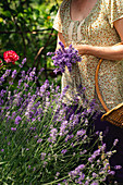 Woman picking lavender